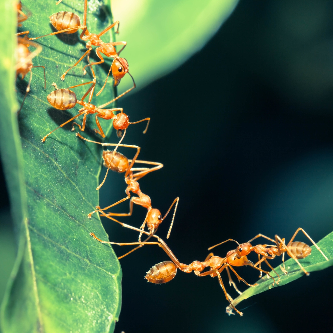 ants on leaves
