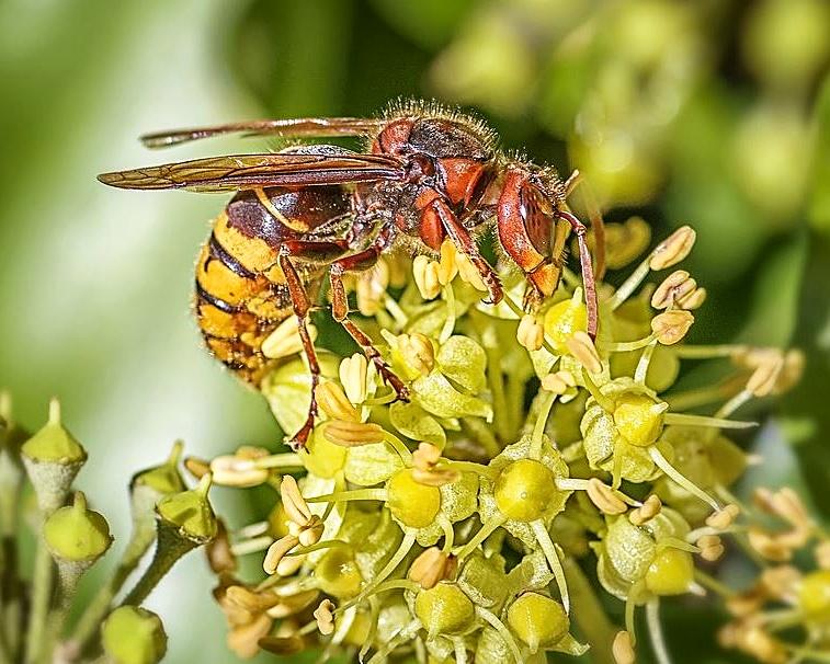 A hornet on a plant