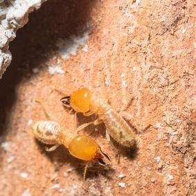 Two termites touching