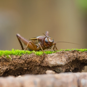 A house cricket