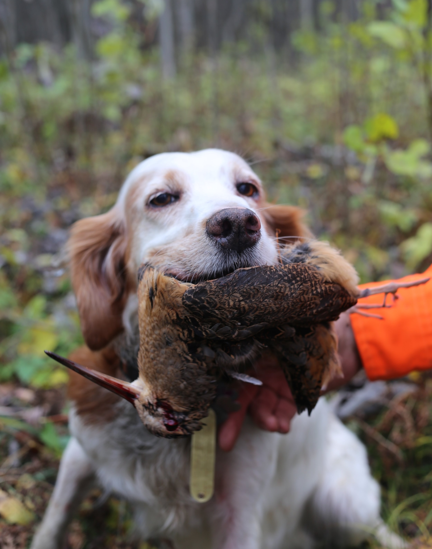 Roy's setter Amber with a perfect woodcock retrieve.