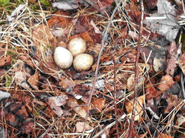 Woodcock nest disturbed and abandoned during egg laying or early incubation on April 9 in northern Vermont