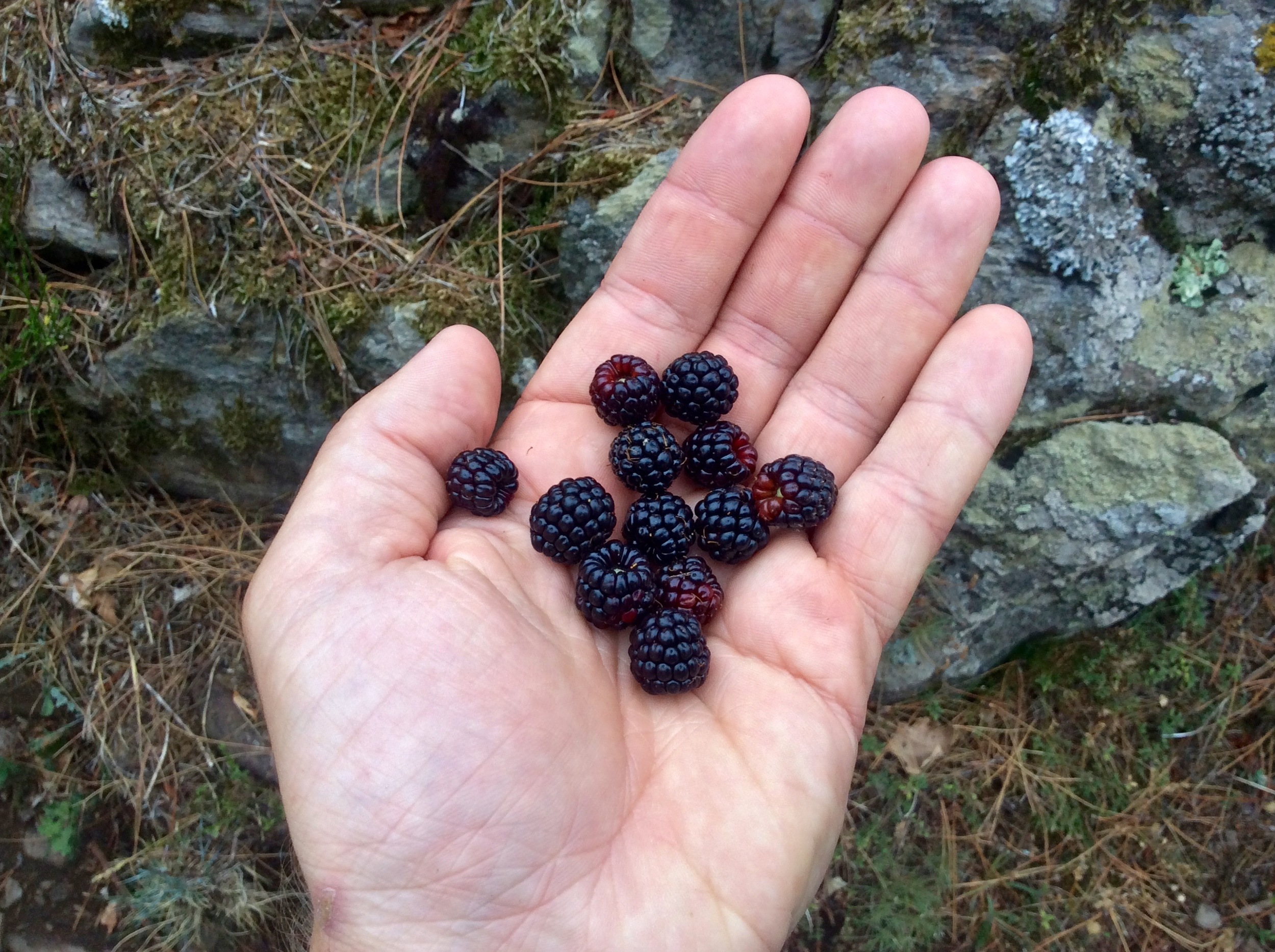 An abundance of wild blackberries