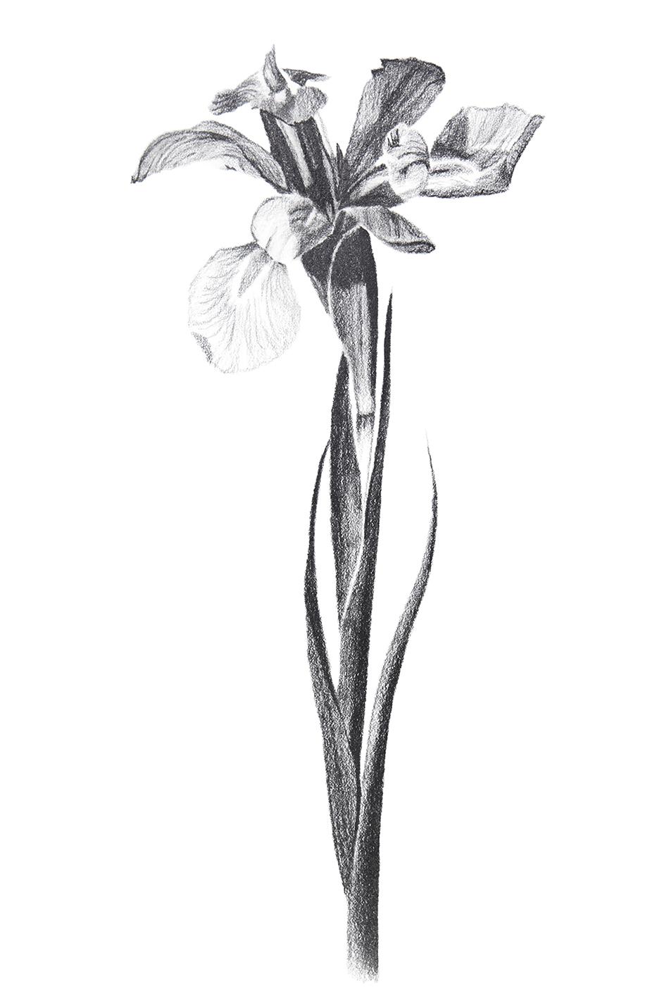 Flower Study 6 small.jpg