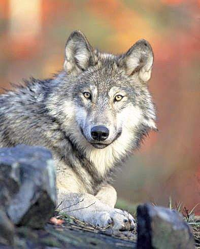 U.S. Fish and Wildlife Service The largest wolf pack in the West has been found in Wyoming. It has 24 wolves — 9 more than the next largest pack.
