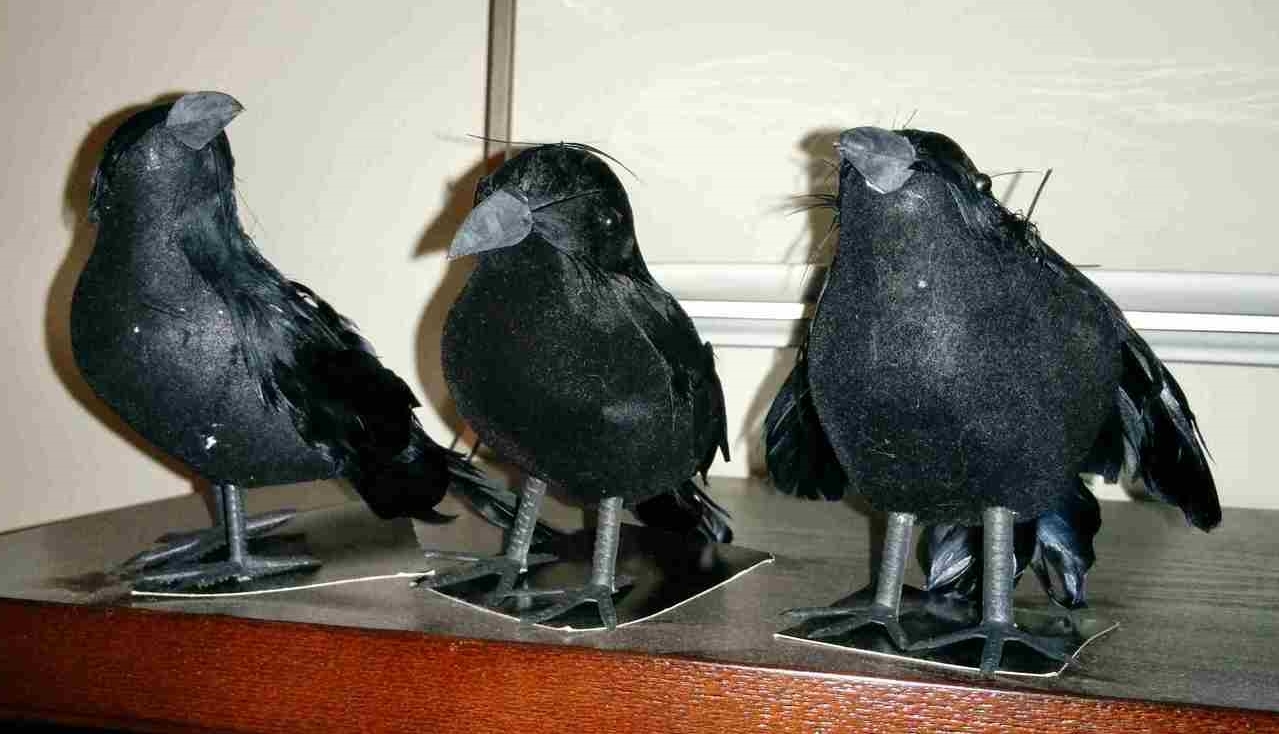 Our new trio of ravens