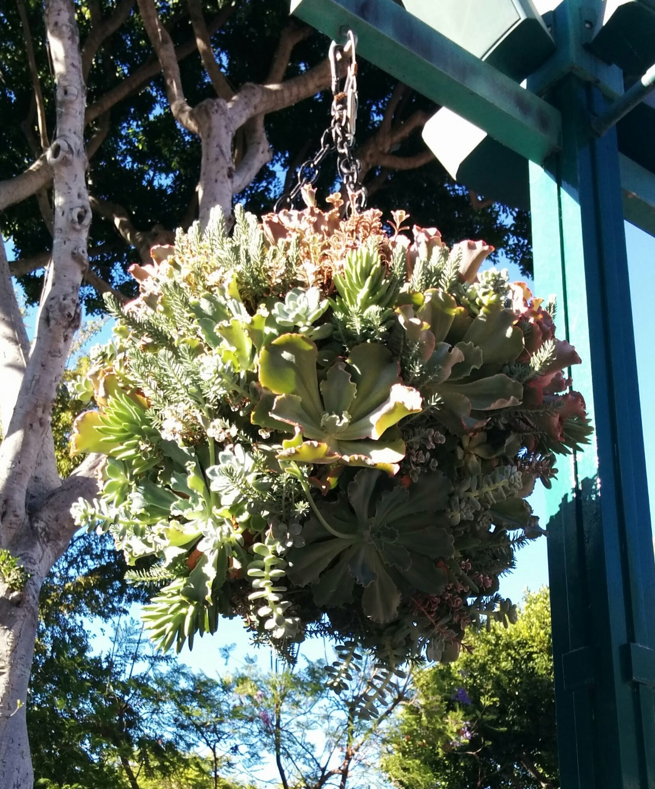 Hanging succulents at Downtown Disney