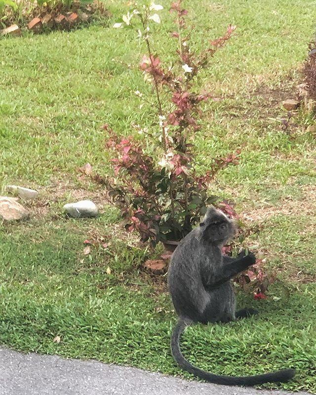 Don't you hate it when you find the neighbours in your garden? 🤨🙊 #stopeatingmytree #cheekymonkey #junglelife #seachange #silverleaf