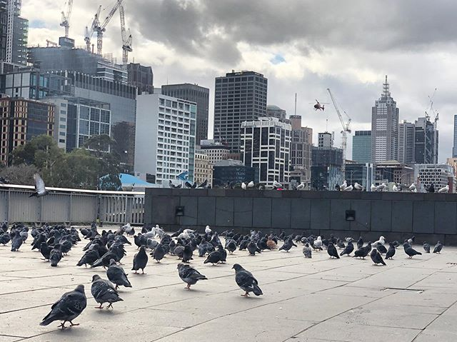 Just back in my favourite city hanging with the locals 🐦 #coocoo #lovemelbourne #citywalks