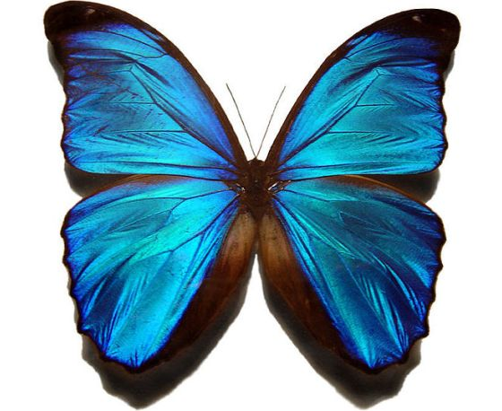560px-Blue_morpho_butterfly,_Gregory_Phillips.jpg