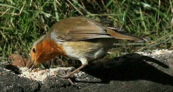 robin_feeding_from_moorhen.me_.uk_.jpg