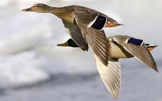 560px_geese_flying.jpg