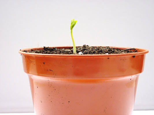 10-moringa-tree-1st-day-of-germination.jpg