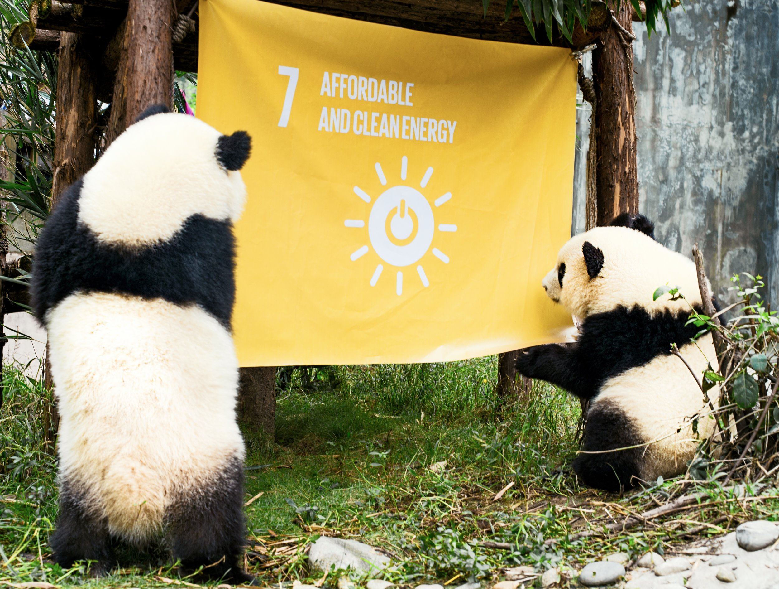 Qiciao and Qixi, a pair of giant panda twins, inspect a flag to represent Goal 7, Affordable and Clean Energy, raised at the Chengdu Research Base of Giant Panda Breeding in China, to support the UN Global Goals for Sustainable Development.Credit:Mr. Yuan Tao and Ms. Yan Lu