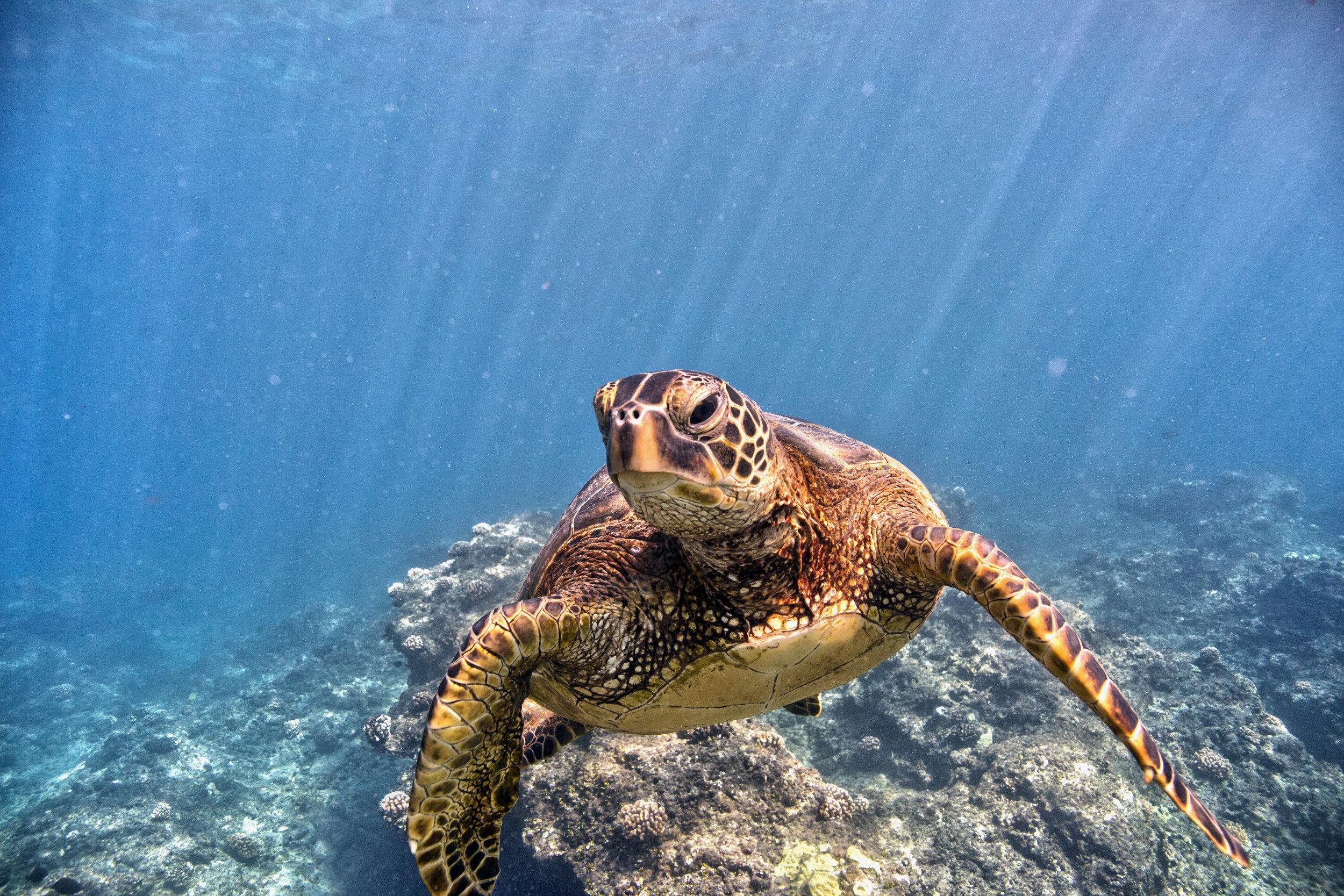 Green Sea Turtle,  NOAA