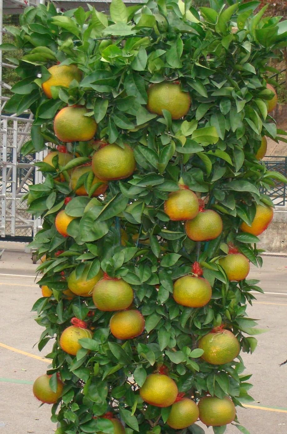 Mandarin plant via  Cheung Fun  on flickr.