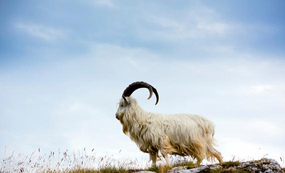 Photo of a cashmere goat by istockphoto.