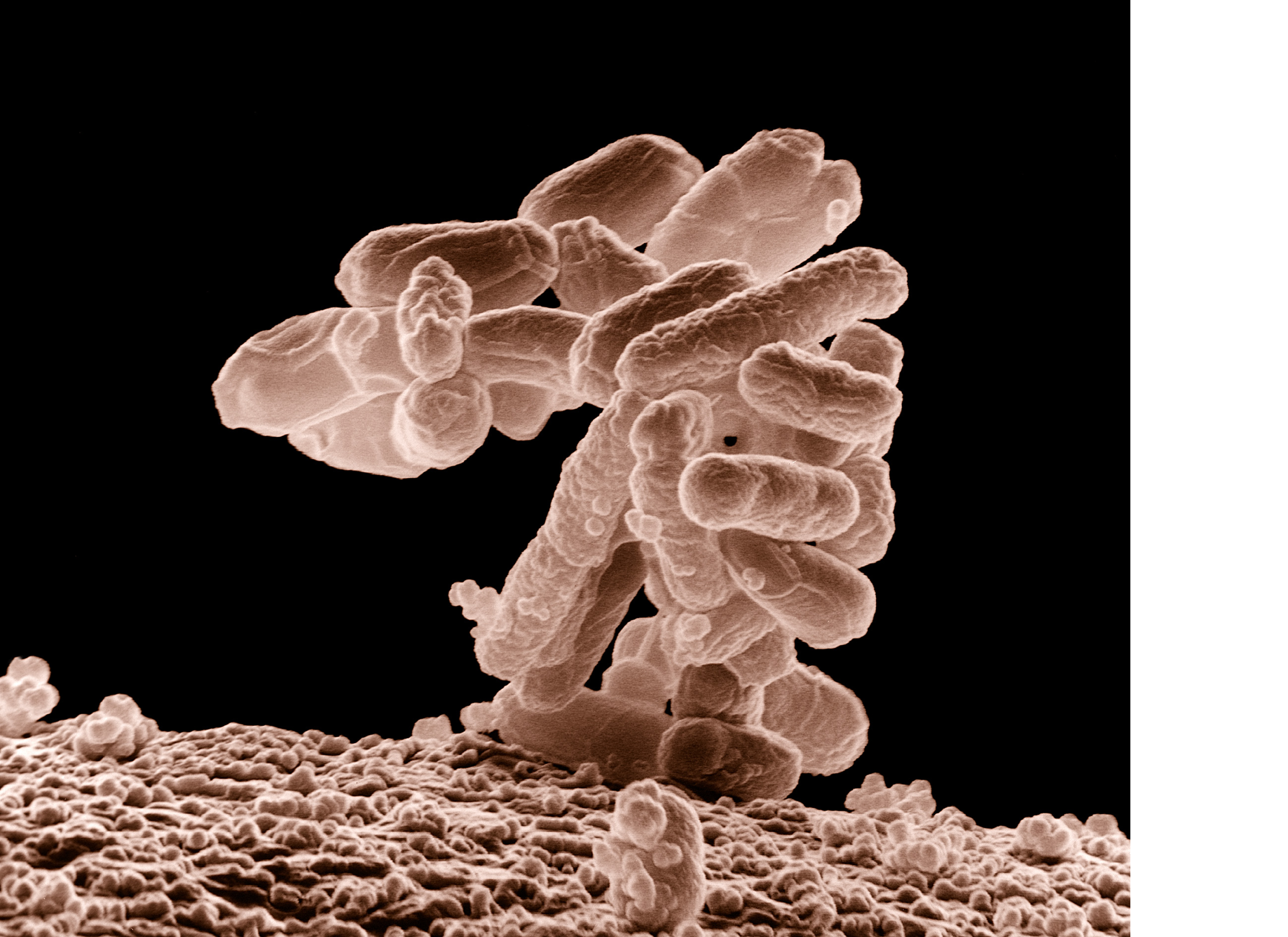 E_coli_at_10000x,_original.png