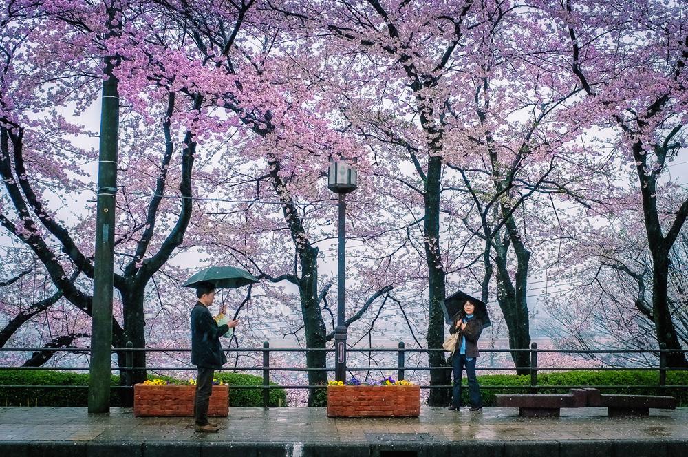 Cherry Blossoms at Takasaki