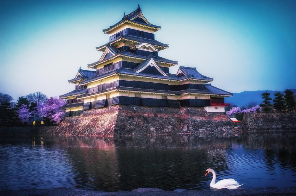 A swan floating during the cherry blossom season at Matsumoto Castle.