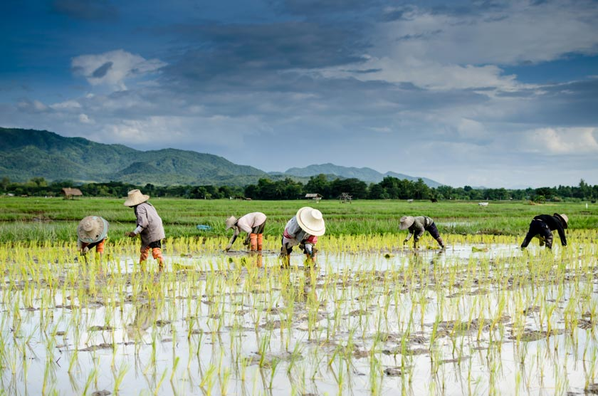 rice farming has lasted for many centuries with very little change in practice.