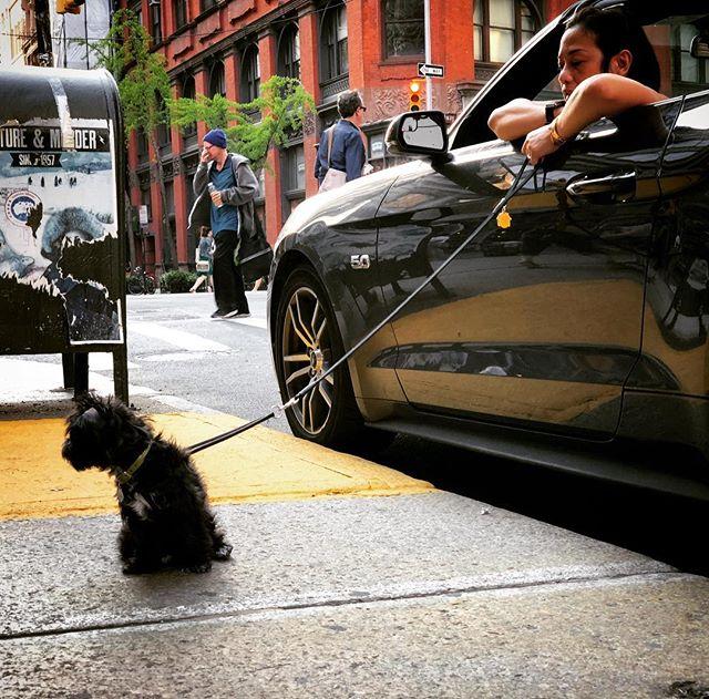 Curb that dog getting a walked by a 5.0 #nyc #maysummer #nycheat #nycsummer #manhattan #mustang #instadogs #dogs #yorkiesofinstagram #ilovenewyork