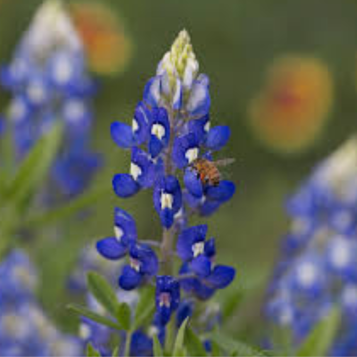 Emily Blanco exhibits a picture of a bluebonnet wildflower.