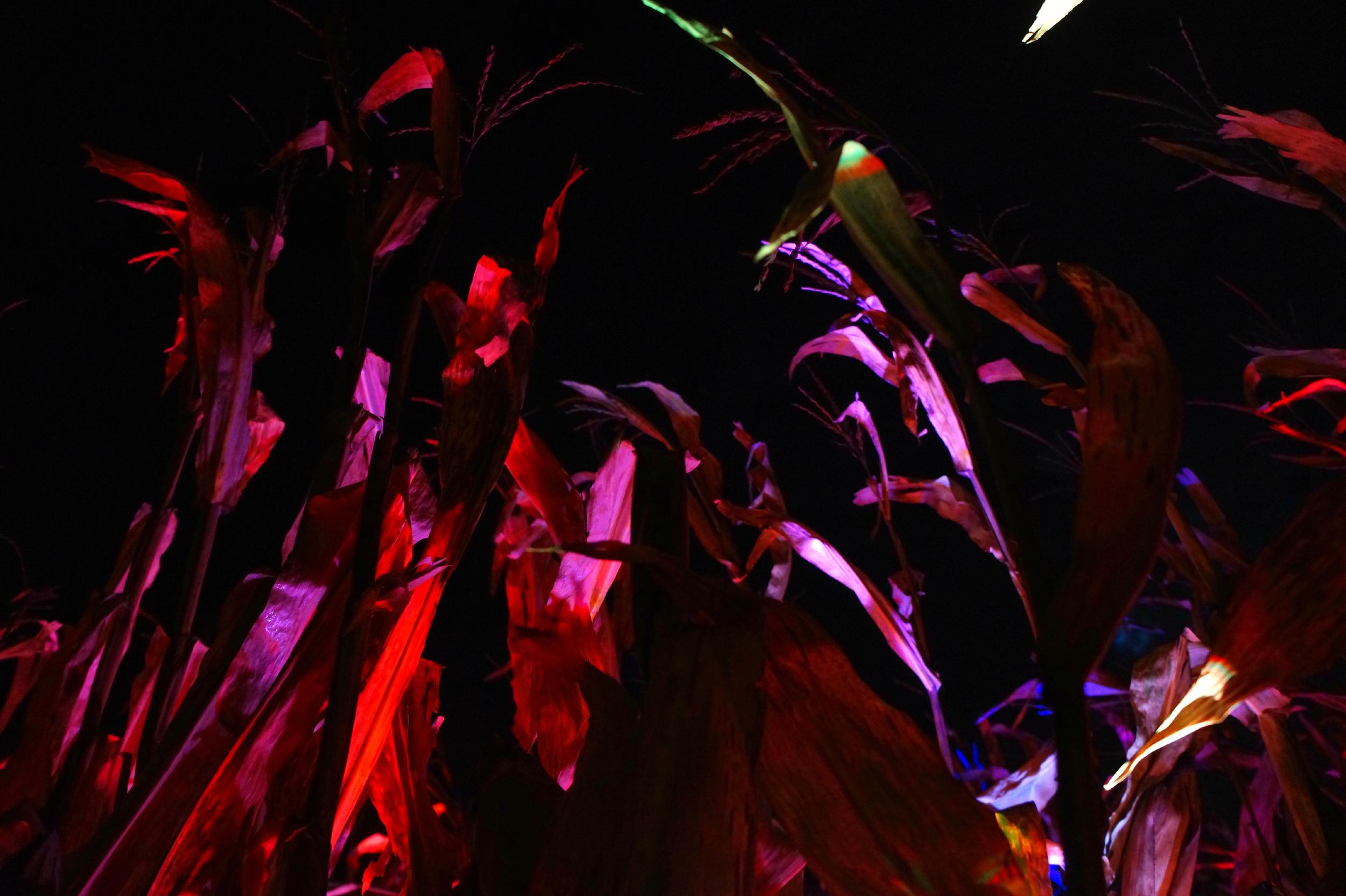 Corn Closeup.jpg