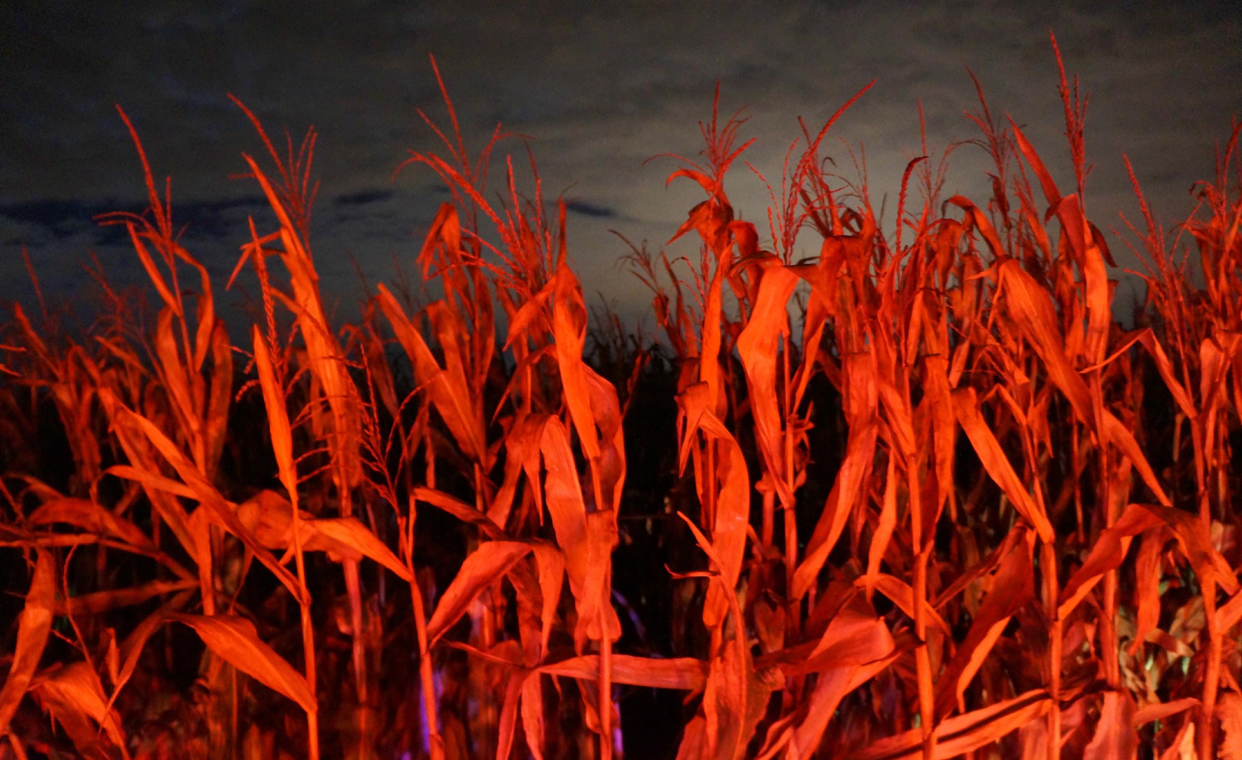 Orange Corn Stalks.jpg