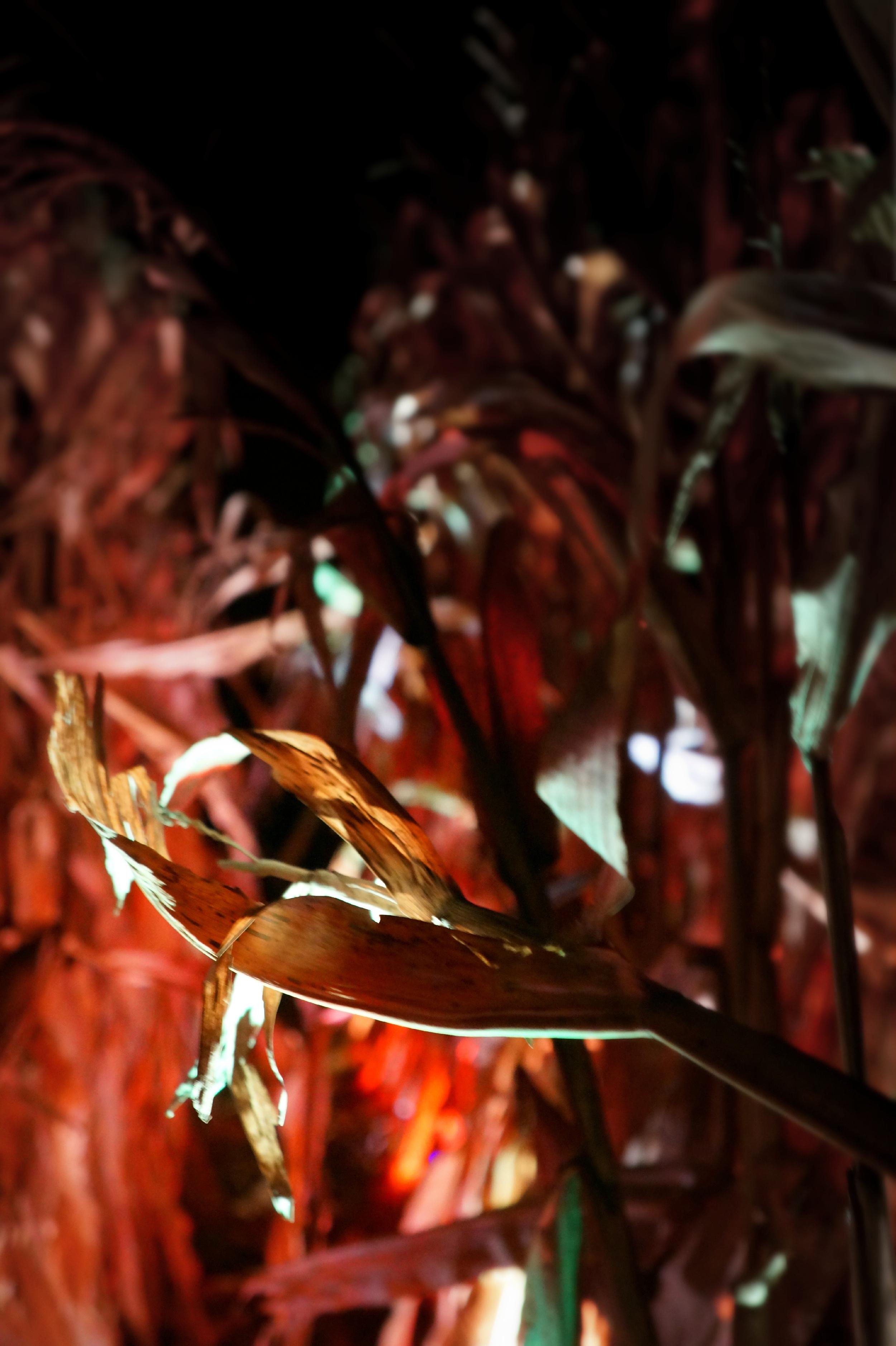 Corn Closeup 2.jpg