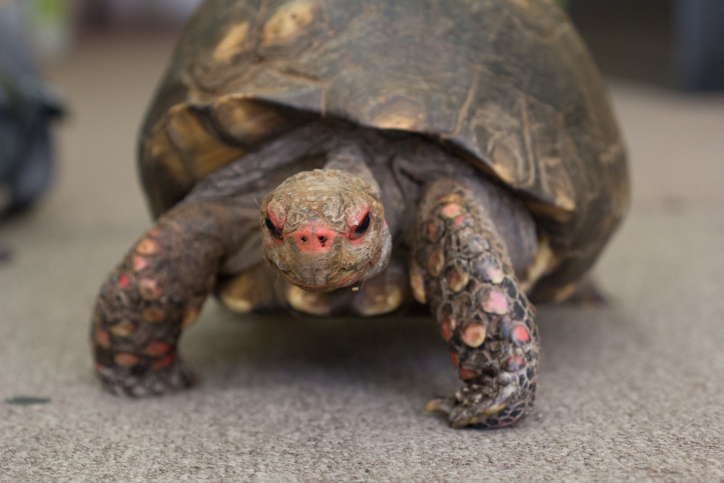 Red-footed Tortoise (Chelonoidis carbonaria)