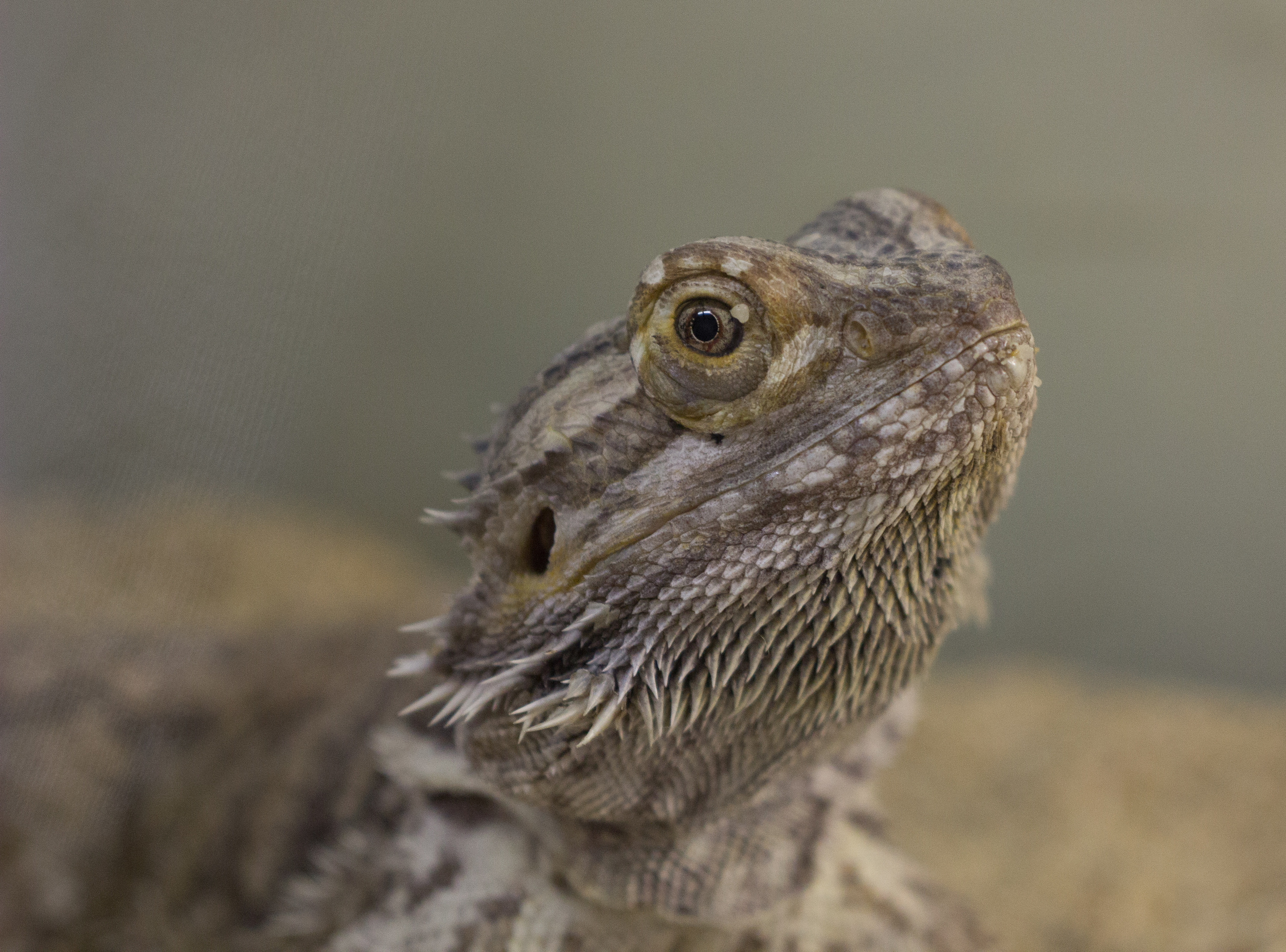 Inland Bearded Dragon (Pogona vitticeps)