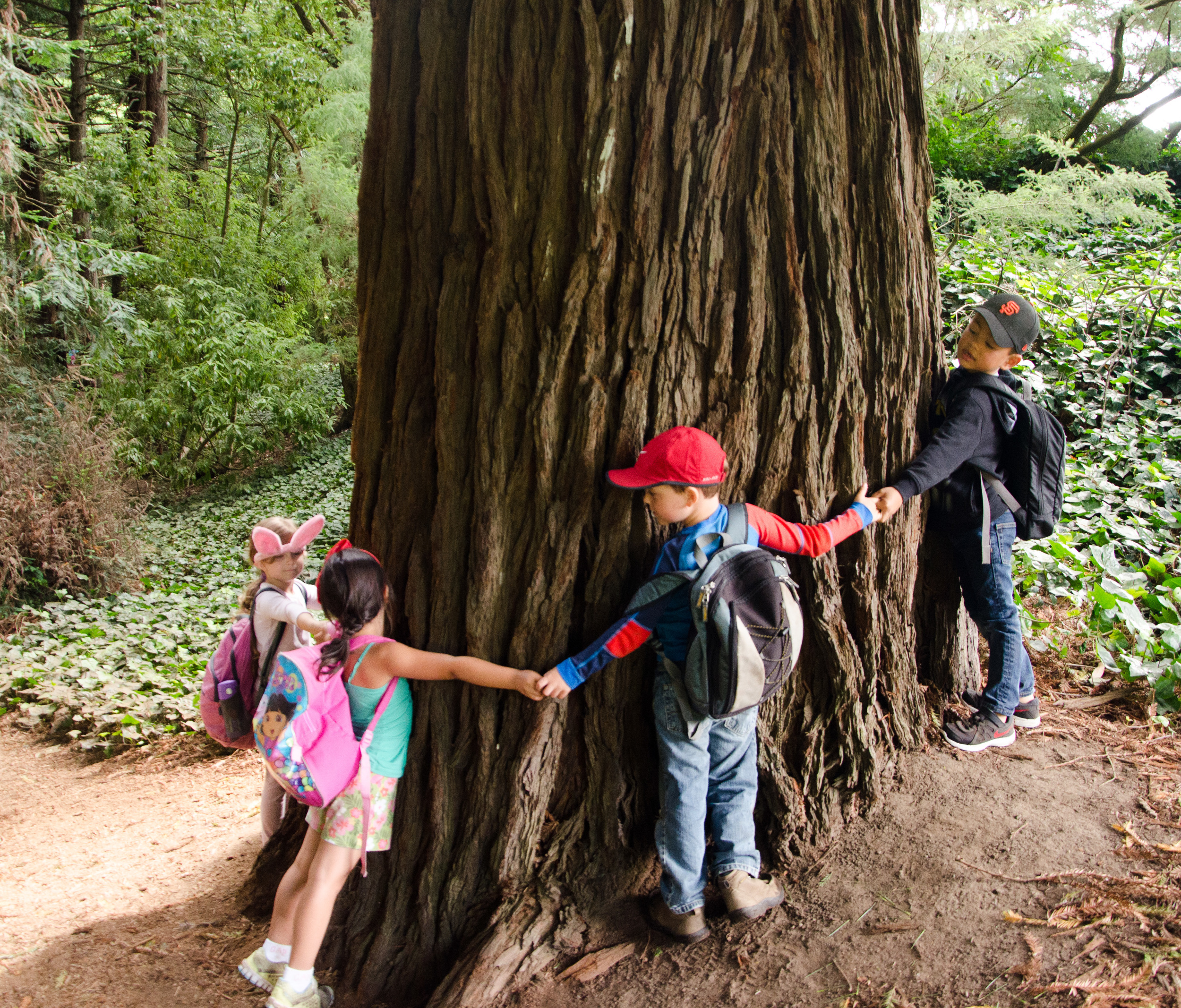 Measuring the circumference of a Coast Redwood!