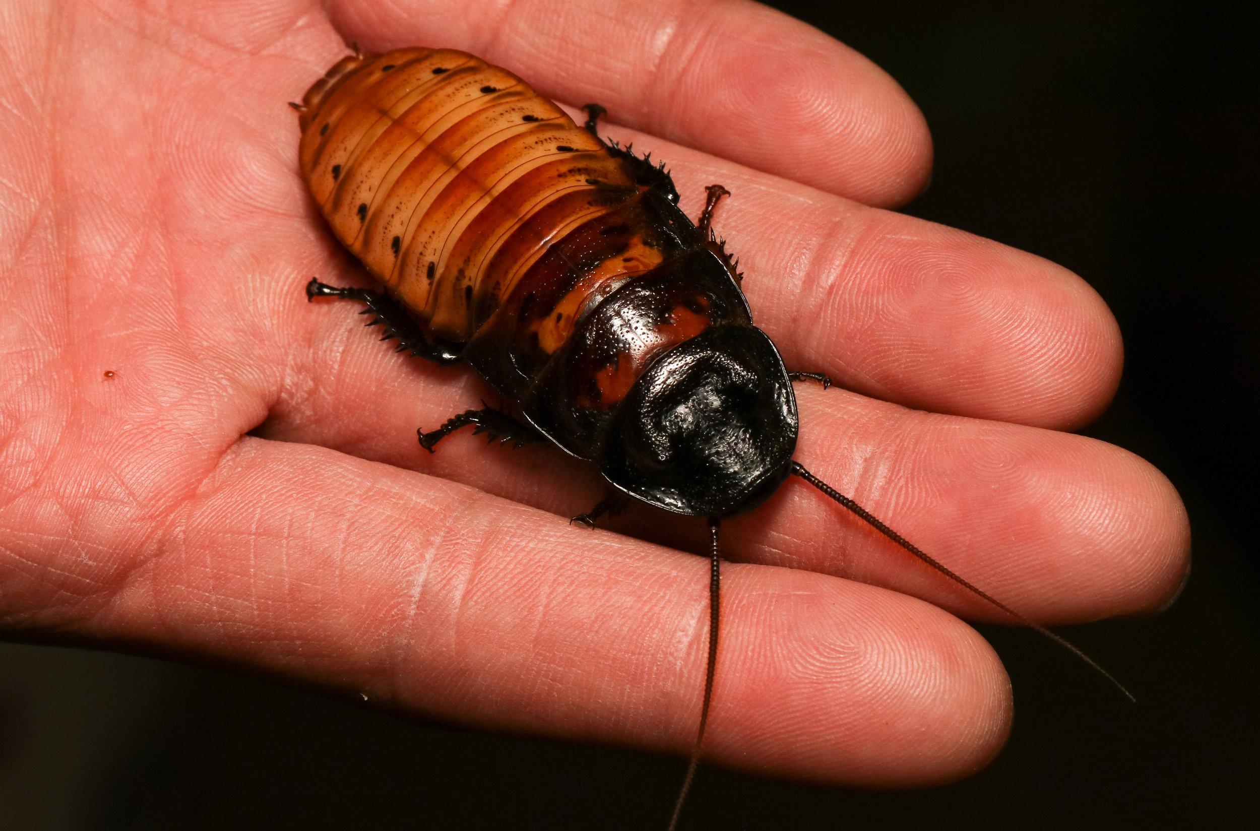 Malagasy Hissing Cockroach (Gromphadorhina portentosa)