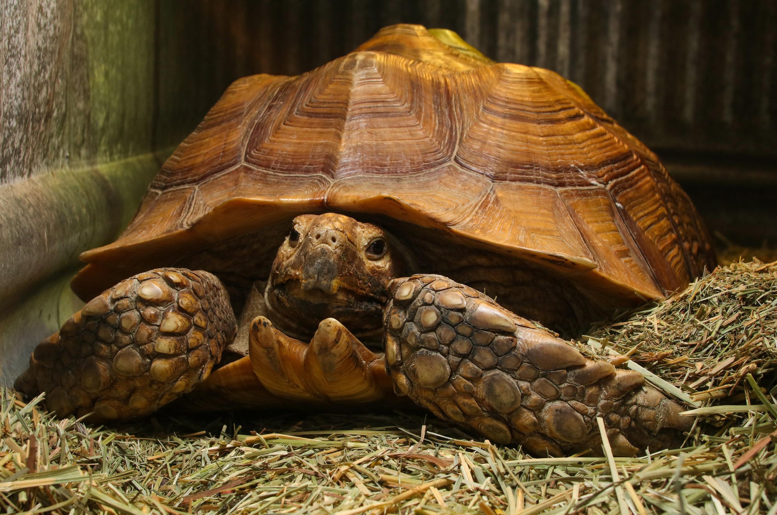 Spur Thighed Tortoise (Geochelone sulcata)
