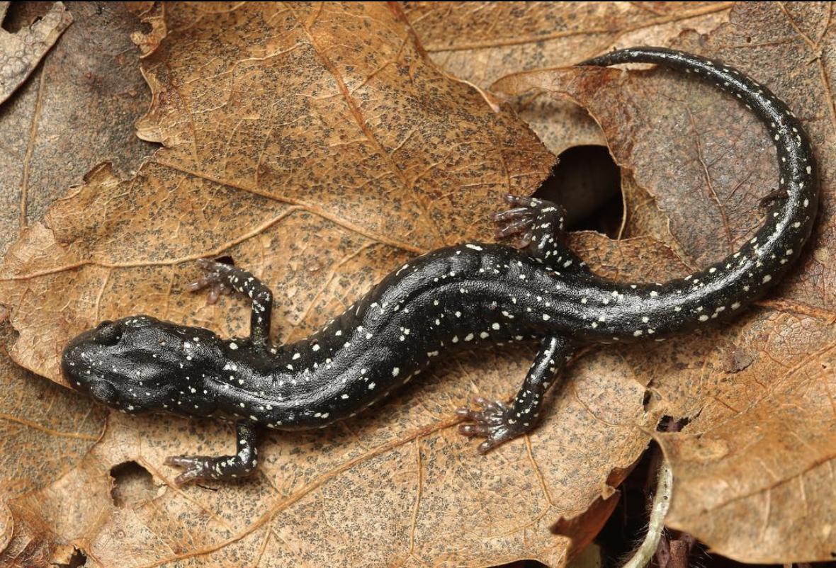Speckled Black Salamander (Aneides flavipunctatus flavipunctatus)