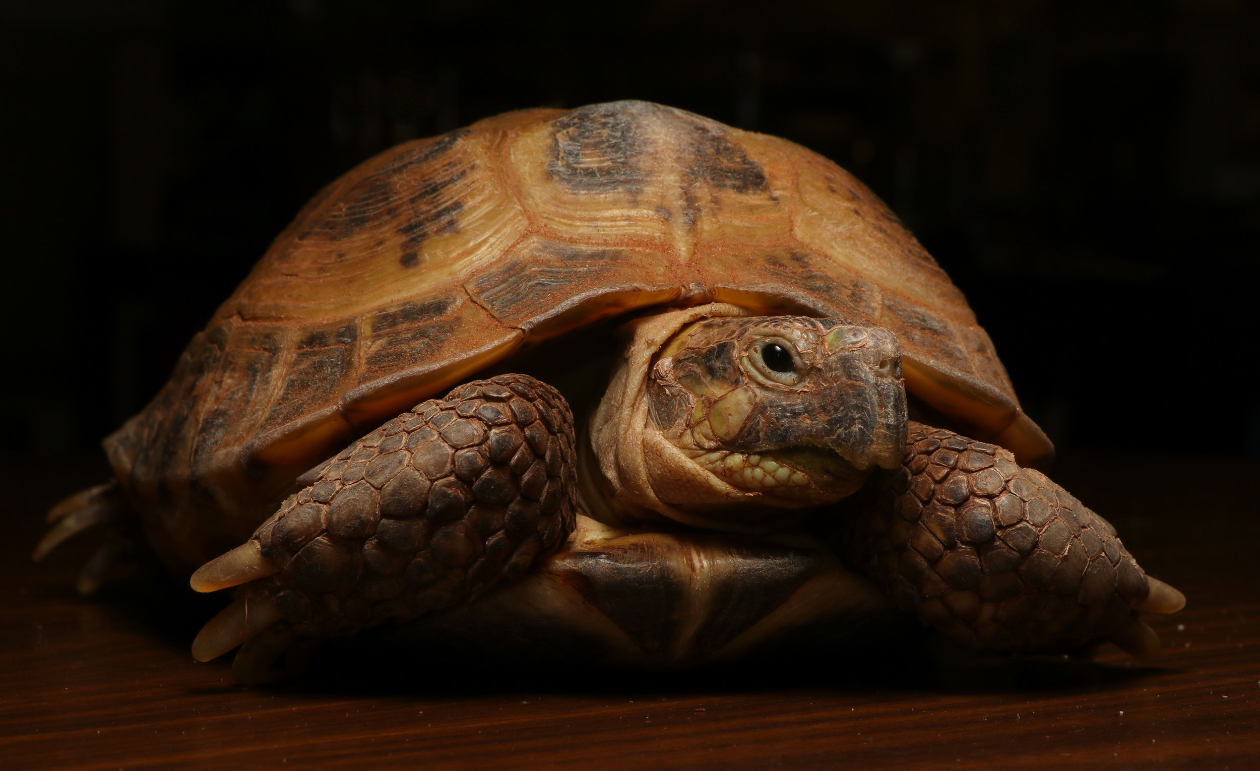 Russian or Steppe Tortoise (Testudo horsfieldi)