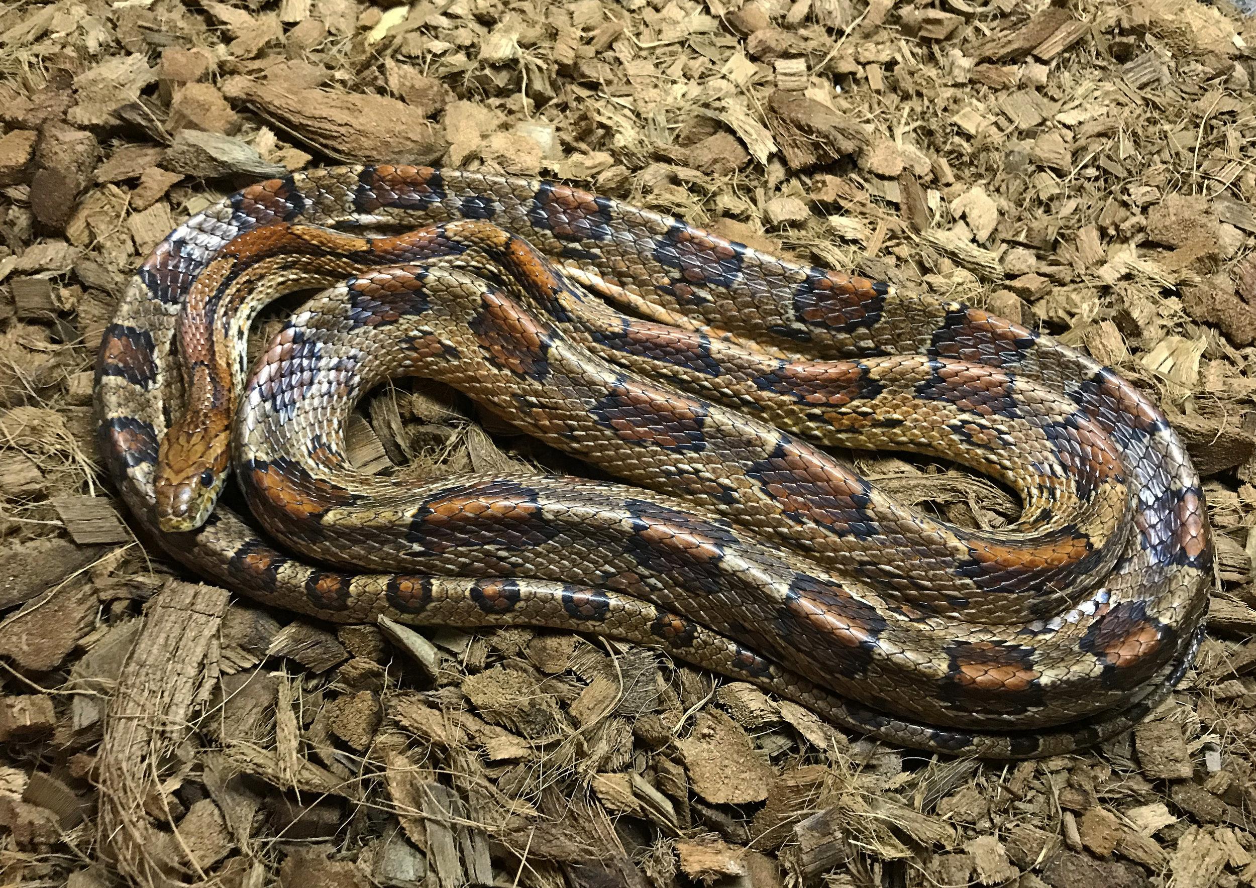 Corn Snake, Elaphe guttata guttata or Pantherophis guttatus guttatus.