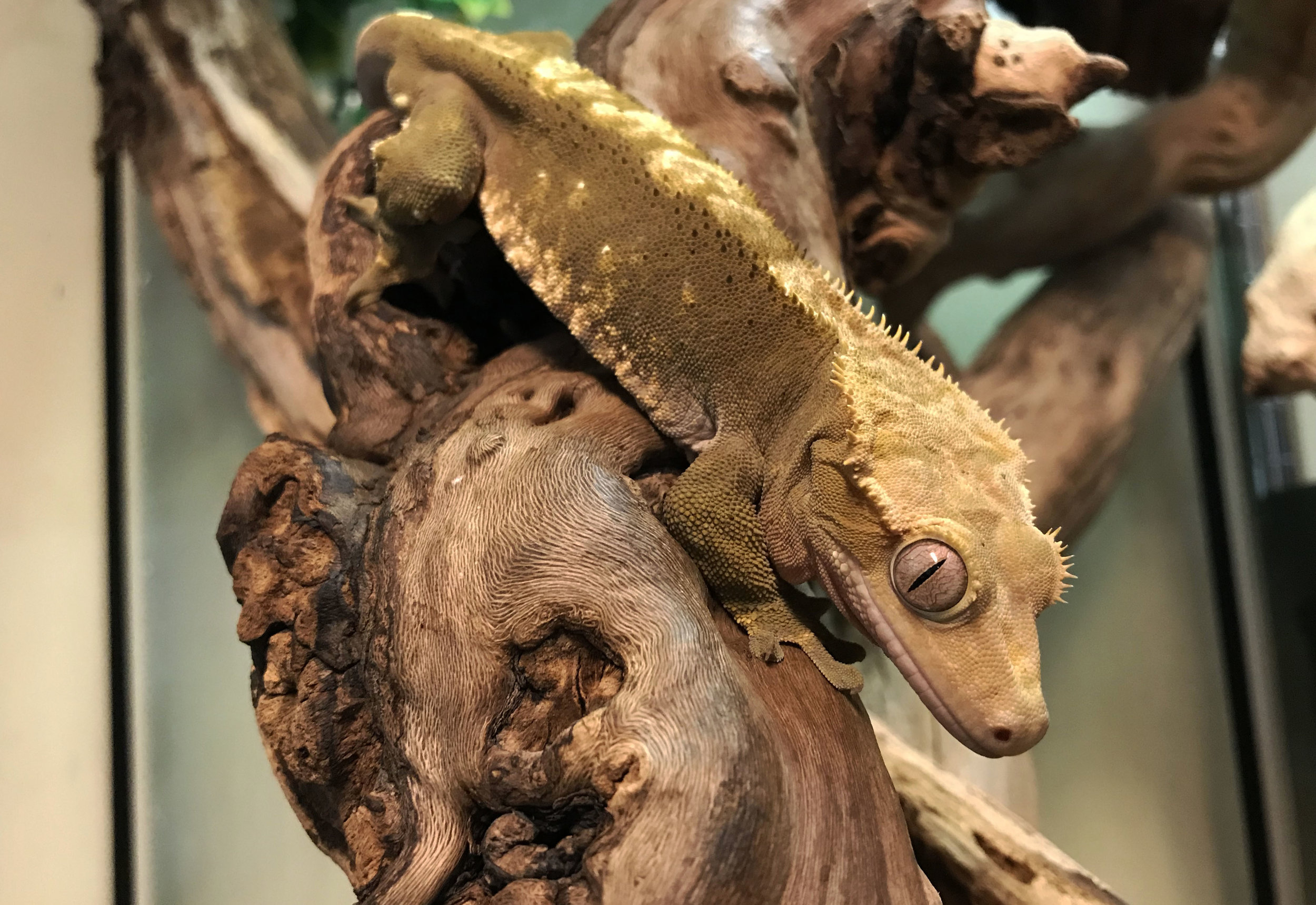 New Caledonian Crested Gecko (Rhacodactylus ciliatus)