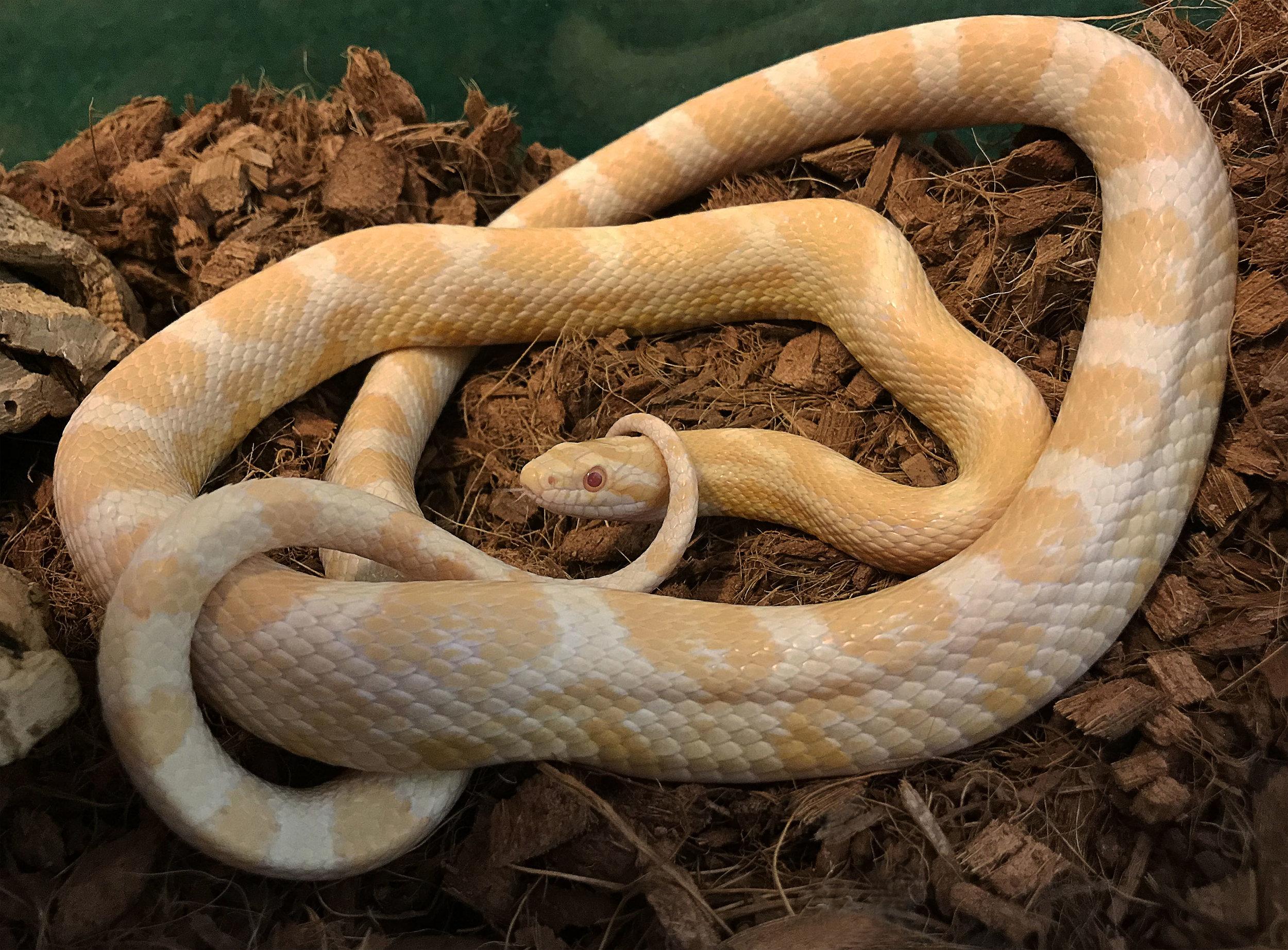 Corn Snake ( Pantherophis guttatus)