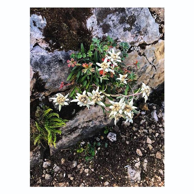 Edelweiss edelweiss... The Mountain Troop flower for loved ones⛰ ⠀⠀⠀⠀⠀⠀⠀⠀⠀ At last we found them Adelaide!! @adelaidesflowers ⠀⠀⠀⠀⠀⠀⠀⠀⠀ #tbt #wildflower #mountainflowers #edelweiss #alpineromance #bavarianalps