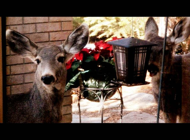The deer are more frequent visitors to the garden this year - they snack at the bird-food feeders!