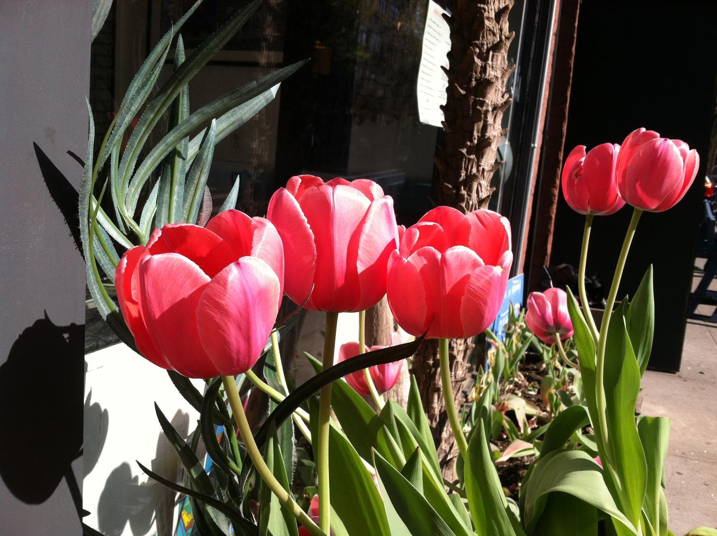Tulips_La-Slowteria.jpg