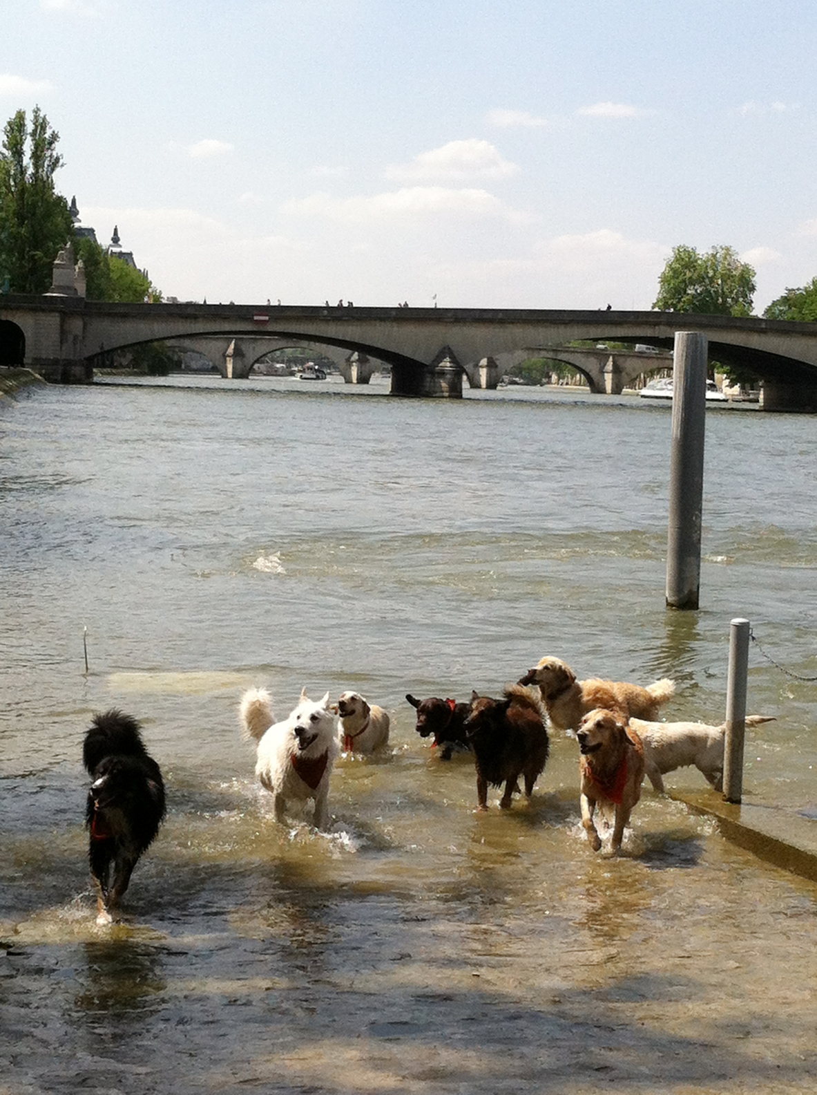 dogs_swim2-Seine_Allyn_Howard.jpg