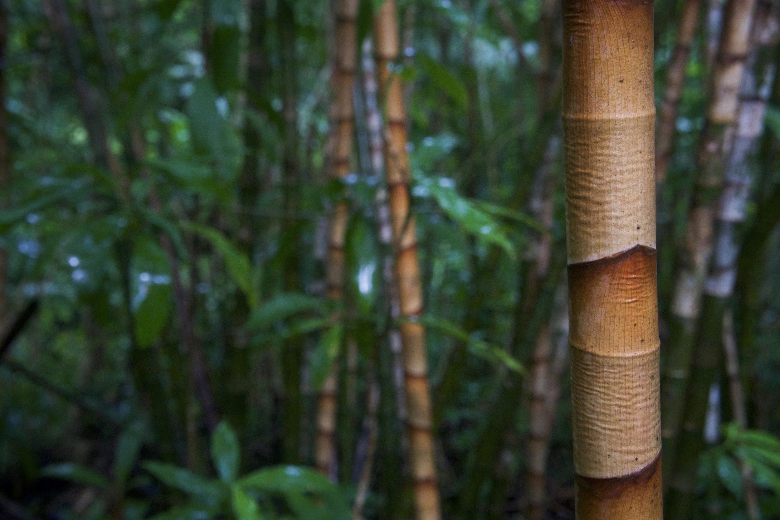 Bamboo forests offer great color contrasts in the lush hills above Honolulu.
