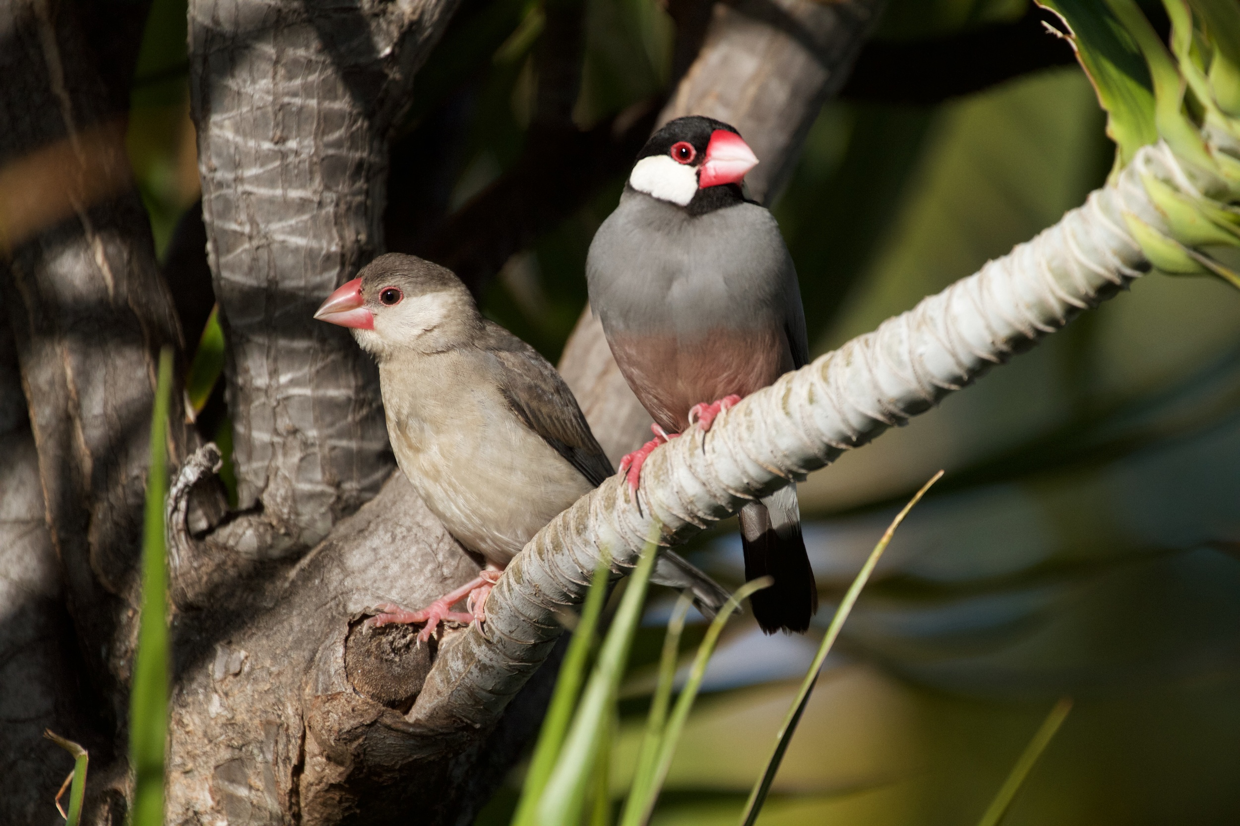A juvenile Java Sparrow on the left and an adult on the right.