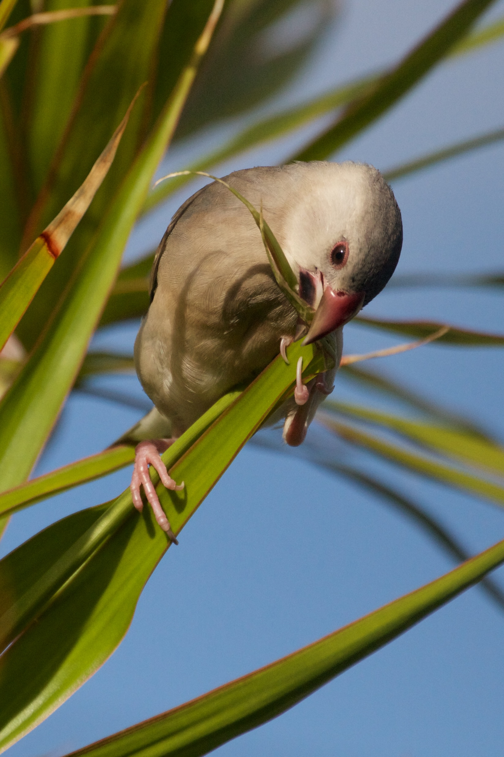 A juvenile Java Sparrow nibbling on a leaf.