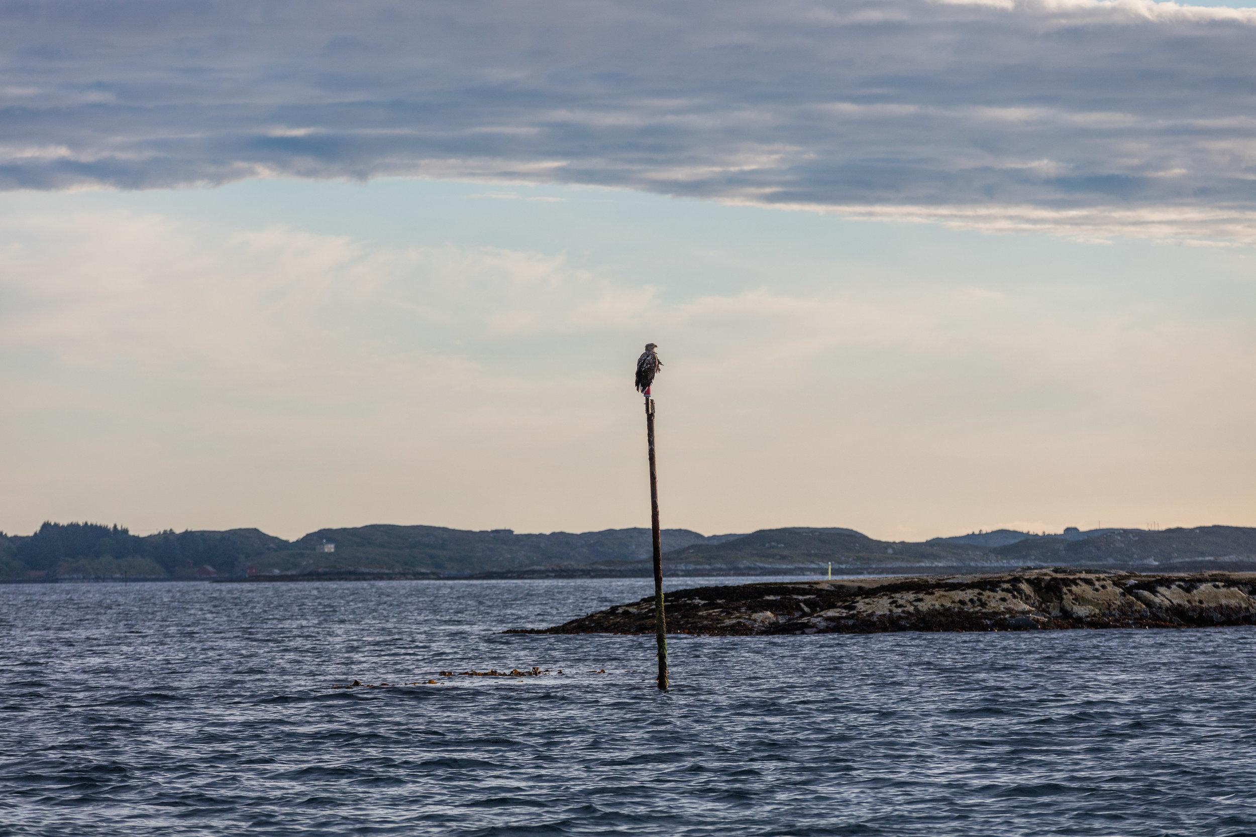 Ørn-Hitra-Norge-norway-fotoknoff-sven-erik-knoff-1109.jpg