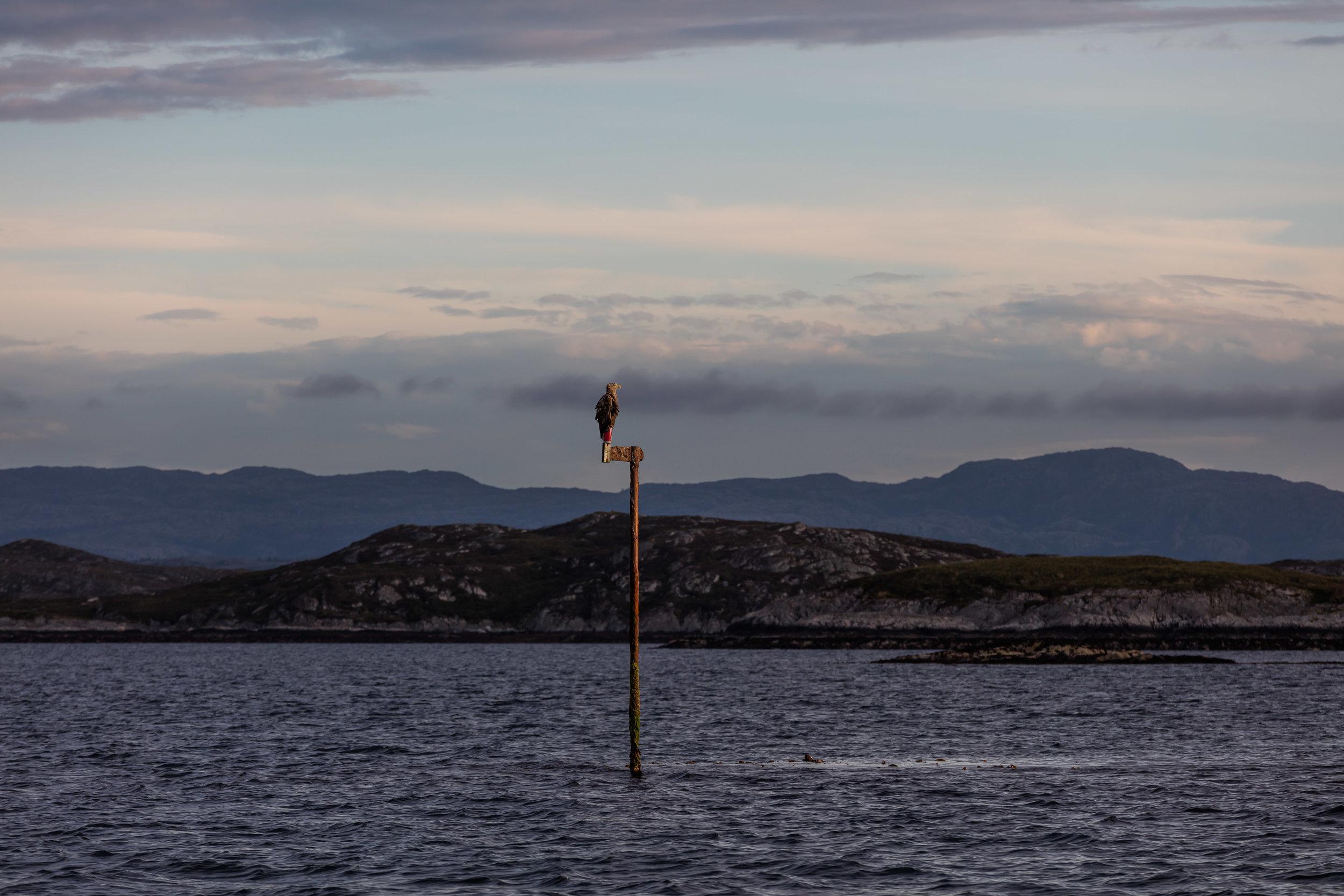 Ørn-Hitra-Norge-norway-fotoknoff-sven-erik-knoff-1129.jpg