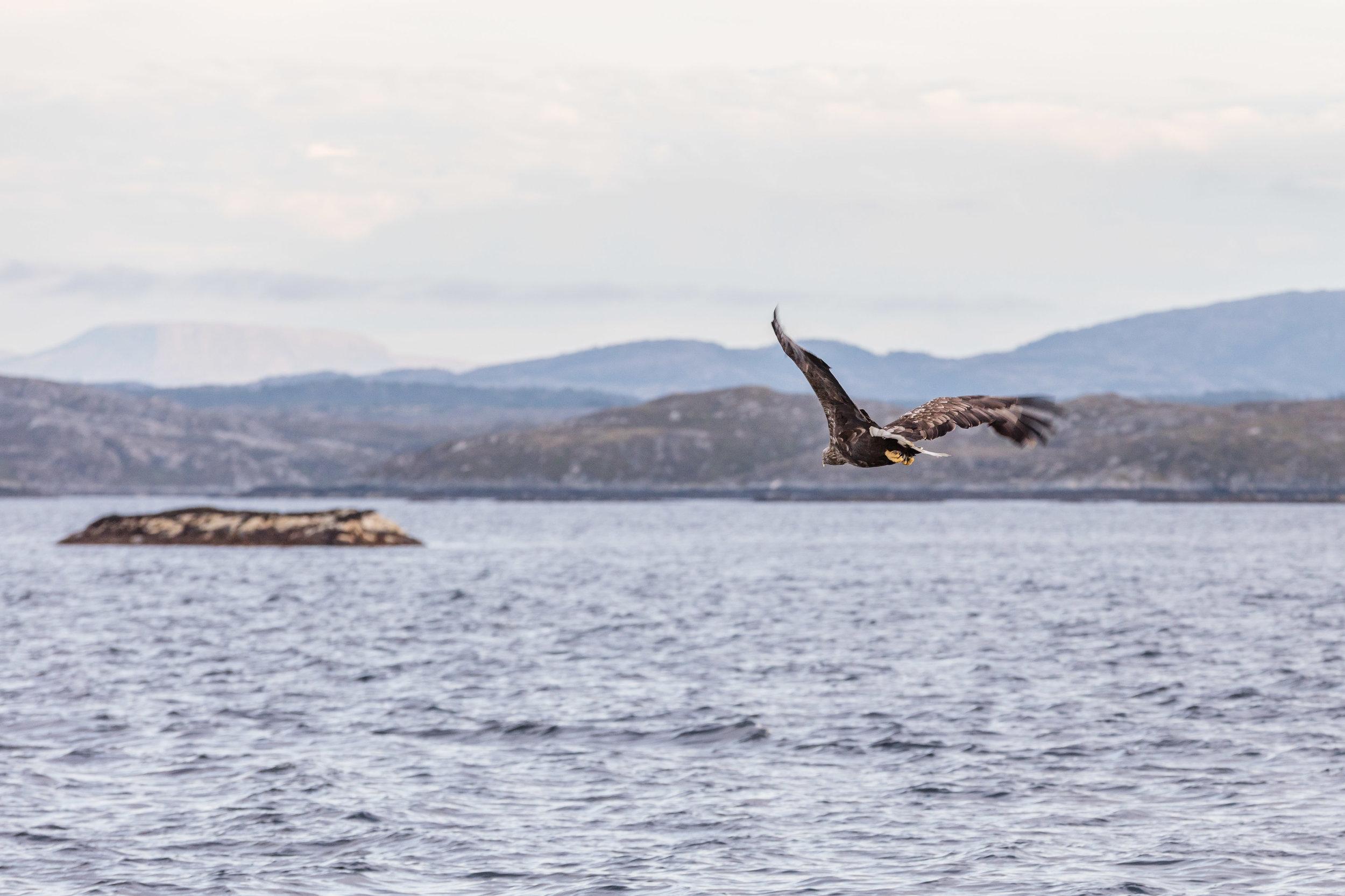 Ørn-Hitra-Norge-norway-fotoknoff-sven-erik-knoff-1154.jpg